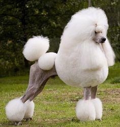 Standard Poodle, White - Dacun Kaylen's He's A Heartbreaker http://www.kennel-remaro.com/oppdrett.html