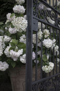 Beautiful container of white hydrangeas!