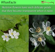 Diphylleia grayi, a beautiful flower that grows in moist areas around Japan and China, is known as the skeleton flower after its petals that turns from white to translucent when it rains. Wtf Fun Facts, True Facts, Funny Facts, Random Facts, Funny Memes, Skeleton Flower, When It Rains, The More You Know, Things To Know