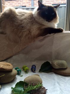 Sasha managing the shooting of some of our jewellery in the studio #cat #ragdoll #manager #trouble #GGJewellery