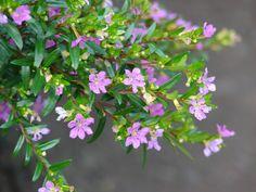 Cuphea hyssopifolia
