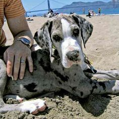 I have never grown out of my longing for a dane. I will always love my Dane Cute Dog Costumes, Dog Halloween Costumes, Weimaraner, I Love Dogs, Cute Dogs, Dane Puppies, Retriever Puppies, Terrier Puppies, Bull Terriers