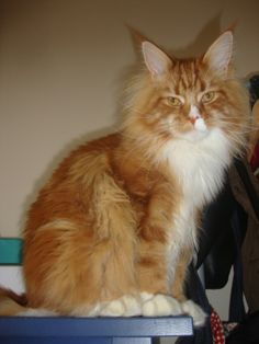 Maine coon male - red tabby  his name is Artú