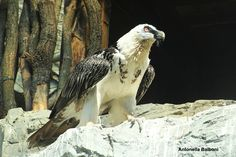 Gipeto - 6 aprile 2015 presso zoo Natura Viva a Bussolengo. Canon EOS 1200D.