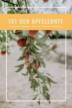 Ein 1x1 der Apfelernte, Wann erntet man Äpfel, Beste Zeit für die Apfelernte, Herbstgarten | Apfelernte Gardening, Plants, Good Times, Tree Planting, Allotment, Fruit And Veg, Lawn And Garden, Plant, Planets