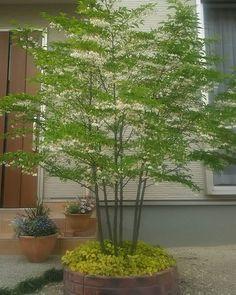 ハイノキ Indoor Garden, Indoor Plants, Dream Garden, Home And Garden, Japanese Plants, Living Room Plants, Green Flowers, Trees To Plant, Planting Flowers
