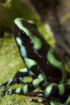 Green and Black Poison Dart Frog, Dendrobates auratus