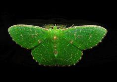 Geometridae : Geometrinae : Anisozyga metaspila WALKER, 1861, mâle. Umina Beach (NSW, Australie), 26 octobre 2011. Photo : Barbara Kedzierski