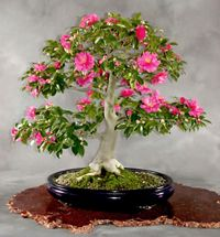 The Japanese Collection began with the gift of 53 bonsai from Japan on the occasion of the American Bicentennial in 1976. Description from bonsai-nbf.org. I searched for this on bing.com/images
