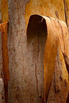 Bark Karri Tree by Christian Fletcher