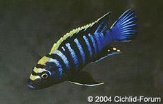 "Cynotilapia afra (lumbila) - ~3"" mildy aggressive mbuna cichlid"