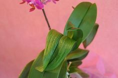 Orchid care - great little article.Be careful to avoid over watering. If you do, your leaves will crinkle as shown in this photo. Orchid Plant Care, Phalaenopsis Orchid Care, Orchid Plants, Orchids In Water, Orchids Garden, Growing Orchids, Growing Roses, Orchid Leaves, Plant Leaves