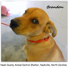 Brandon CRITICAL Available NOW  Half Grown PUPPY male lab/hound? mix  This Pet is in the Nash County Animal Control Shelter in Nashville, North Carolina. Please go to this pet's personal album for more photos and information on adoption, the Shelter and more...just CLICK https://www.facebook.com/media/set/?set=a.441591992571513.108114.107860182611364=1=63721f7b9c — Stray from Land Rd. - No obvious aggression shown to other dogs in the kennels nor undue interest in the cats.