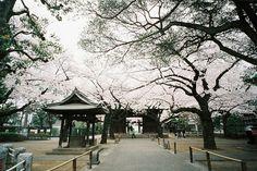 sakura 2013 ++ photography by : hiki