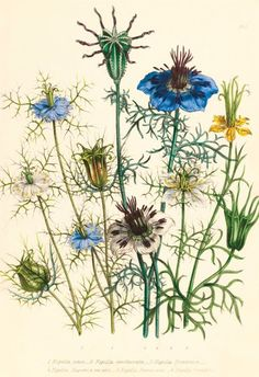 Illustrations of various Nigellas / Love in a Mist - Jane Webb Loudon - Kew Gardens Botanical Prints - Kew Botanical Prints