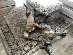 Always need to be touching Russian Wolf, Greyhound Pictures, Hound Breeds, The Perfect Dog, Afghan Hound, Lurcher, Whippets, Italian Greyhound, Dogs Of The World