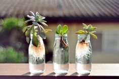 cuttings of succulents in glass bottles have feathery white roots