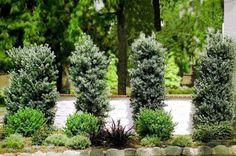 podocarpus icee blue | Icee Blue ® Yellow-Wood Podocarpus Hedge, Oakland House, Frozen Treats, House Front, Native Plants, Hedges, Blue Yellow, House Plants, Backyard