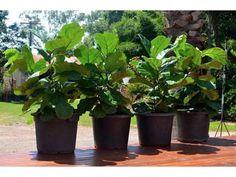 Znalezione obrazy dla zapytania ficus pandurata fiddle leaf fig