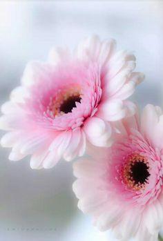 Butterflies and Flowers Pink Flowers, Beautiful Flowers, Beautiful Beautiful, Flowers Wallpaper, Daisy, Pink Gerbera, Good Morning Flowers, Gerber Daisies, Belle Photo