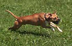 Banter Bulldogge by Bulldog Information