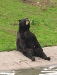 sitting bear - Google Search