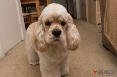 Gus The Majestic Silver American Cocker Spaniel Puppy 16 Months Old! www.silvergus.com