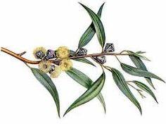 Resultado de imagen de dibujo arbol eucalipto