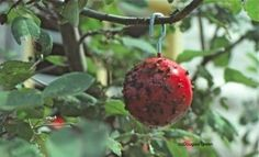 "Red ball coated wtih glue and hung in apple tree to keep bug off apples....& other insect control ideas. Boil 1 qt. corn syrup & 1 qt. water to create a non drying sweet glue to spread with a paintbrush over colored construction paper as ""Glue Traps"" for insects  Pink, blue or yellow fluorescent works well."