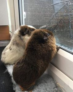 Guinea Pigs watching the rain downpour i was always a fan of the rain