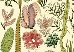 Original print. Giant Kelp, Algae species, marine biology, naturalist gift. French antique print published in Paris by LAROUSSE between 1897 and 1907. Not a copy. Taken fro... ➡️ http://jto.li/a33xV