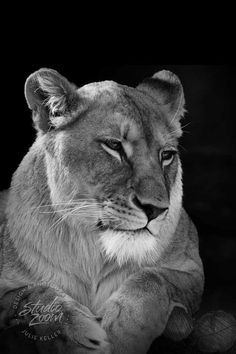 African Lioness Black and White Fine Art Print Big by StudioZoom