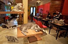 Cat cafes in Japan are amazing places where you can go and play with cats, relax, and have a tasty drink for around $15 an hour. There are at least 39 cat cafes in Tokyo alone. Some have purebred cats and some feature strays and rescues. All are an awesome way to spend an afternoon.