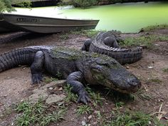 Alligators | Flickr - Photo Sharing!http://www.realwildanimals.com