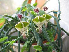 Цветки церопегии можно сравнить с изящными светильниками или раскрытыми зонтиками, которые имеют желтовато-белые полоски.