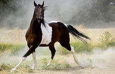 Horse Wallpaper and Background Image Majestic Horse, Beautiful Horses, Animals Beautiful, Beautiful Places, Brown And White Horse, Brown Horse, Big Brown, Free Horses, Wild Horses