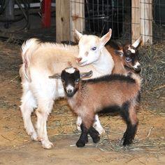 Basic Goat Pregnancy Care