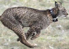 El lince ibérico deja la lista de animales en peligro crítico de extinción Extinct Animals, Wombat, Image Shows, Cat Breeds, Kangaroo, Giraffe, Cats, World, Iberian Lynx