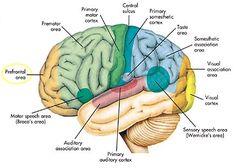 Figuur 10. Schorsgebieden van de vier hersenkwabben, schematische weergave