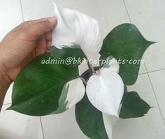 "Philodendron "" White Knight 2 Tone Variegated "" - Philodendron - Succulent"