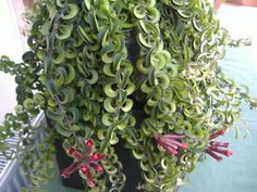 "Twisted Lipstick Plant | WOW ! ""TWISTER"" A BEAUTIFUL TRAILING LIPSTICK VINE ( AESCHYNANTHUS ..."
