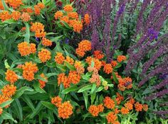 Asclepias tuberosa Butterfly Weed Seeds Monarch Butterfly Host Plant Native Milkweed