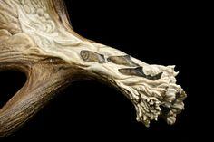 """""""Salmon Run"""" moose antler carving, stem detail"""