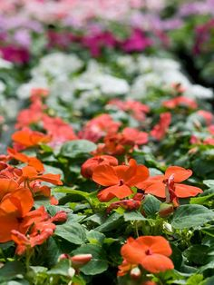 Small-blooming Impatiens come in a variety of colors and grow well in shade. More shade-loving annuals: http://www.bhg.com/gardening/flowers/annuals/top-shade-loving-annuals/?socsrc=bhgpin061612#page=1