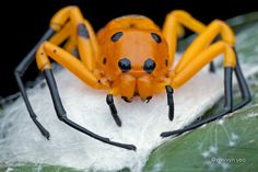 Eight Spotted Crab Spider by ~melvynyeo on deviantART