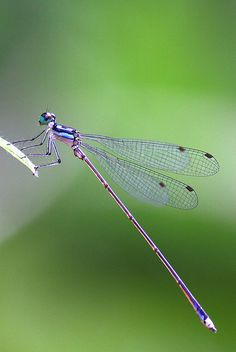 **Telephone Sylvan Damselfly by kampang, via Flickr