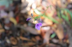 Arthropodium strictum #planting #native #flora #purple