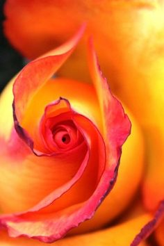 One of the most beautiful apricot-to-rose colored macros of the #spiral in a rose bud I've ever seen.