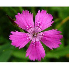 Абсолют Гвоздики, 5 грамм Абсолют цветка, эффективно борется с угревой сыпью, даже в самой запущенной стадии. Подсушивает кожу, убирает воспаление, возвращает здоровый вид. Предотвращает от появления новых угрей.  #чистка_лица #очищение_пор #красивая_кожа #органическая_косметика #натуральная_косметика #экологически_чистый #не_вызывает_аллергию #подтягивает_кожу #омалаживает #питает_кожу Enjoy Your Meal, Shower Gel, Lotion, Shampoo, Lipstick, Soap, Cream, Plants, Bouquets