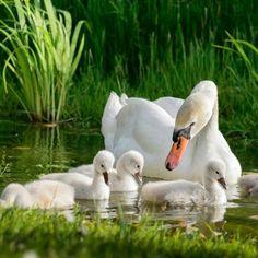 "lijanaa: "" with ℒℴѵℯ "" – Animal Planet Beautiful Swan, Beautiful Birds, Animals Beautiful, Cute Baby Animals, Animals And Pets, Funny Animals, Cygnus Olor, Bird Kite, Mute Swan"